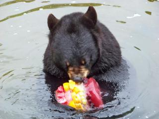 A bear at the Museum of Life and Science enjoys a cool melon treat. Courtesy: Museum of Life and Science