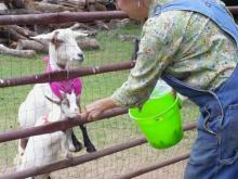 Feeding the goats at Winterpast Farm