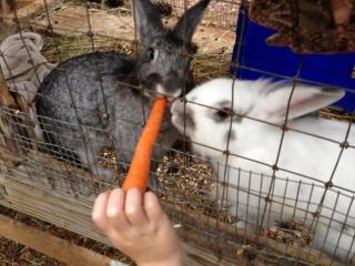 Feeding carrots to the rabbits at Winterpast Farm.