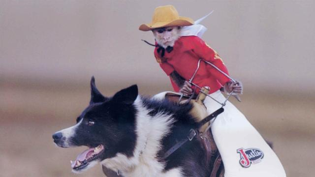 Whiplash, the Cowboy Monkey, rides Ben during the World's Toughest Rodeo.
