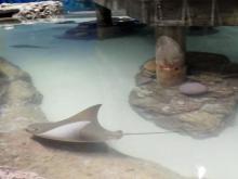 Sting ray at the Greensboro Sciquarium