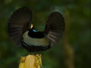 Adult male Paradise Riflebird. Courtesy: N.C. Museum of Natural Sciences