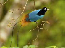 Blue Bird-of-Paradise. Courtesy: N.C. Museum of Natural Sciences