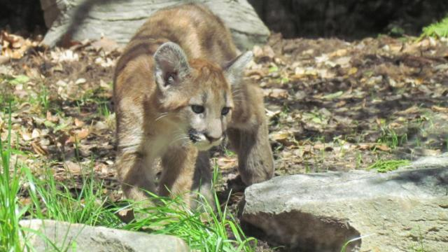 One of three cougar kittens explores his new home Monday at the North Carolina Zoo. N.C. Zoo Photo by Beverly Fox.