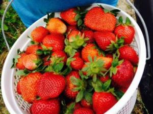Vollmer Farm offers pick-your-own organic strawberries.
