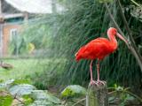 An ibis in the South American aviary