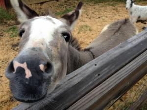 Marvin the donkey.