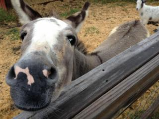 Marvin the donkey.