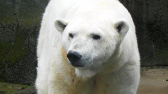Patches the polar bear will have an entire new exhibit to roam when the North Caroline Zoo opens its new expanded polar bear exhibit on Oct. 23. N.C Zoo photo by Valerie Harper.