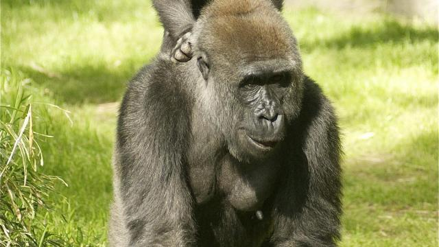A young gorilla and his mother on exhibit at the North Carolina Zoo. (Photo courtesy Valerie Abbott)