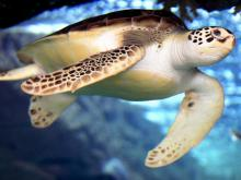 A turtle at Fort Fisher Aquarium at Kure Beach