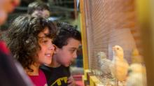 Kids and chicks at the N.C. State College of Veterinary Medicine open house