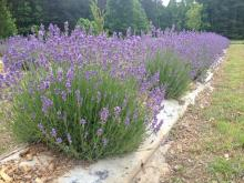 The Apex farm is open to the public for lavender picking and other activities from May 29 to June 7, 2015.