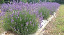 IMAGES: Mezza Luna Lavender Farm