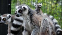 IMAGE: Duke Lemur Center launches new programs, plans Lemurpalooza