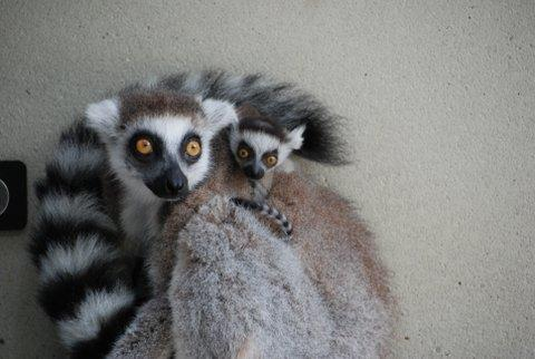 Twin girl ring-tailed lemurs were born at the Duke Lemur Center in May 2015