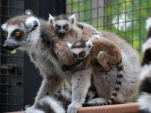 Courtesy: Duke Lemur Center