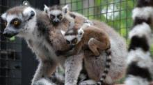 IMAGES: Duke Lemur Center welcomes twin baby girls