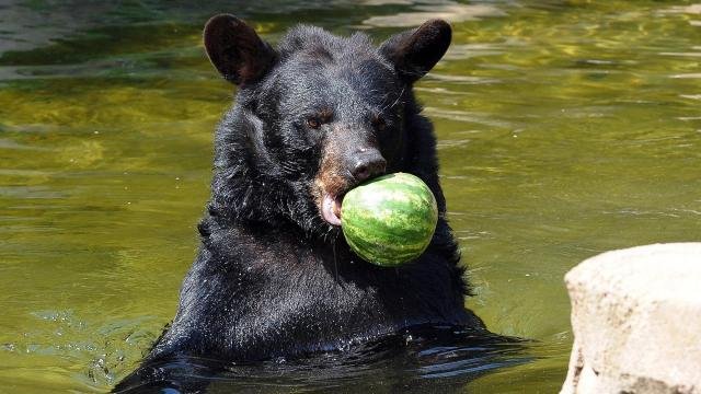 The bears were treated to watermelons on Watermelon Day at the Museum of Life + Science in Durham on Monday, August 3, 2015. Photo by Christine Adamczyk.