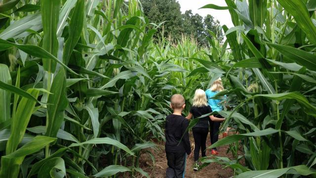 Run through the corn maze