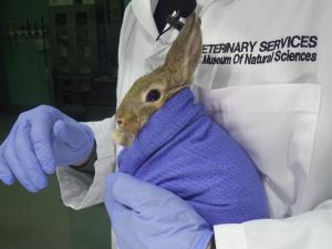 A rabbit is cared for at the Raleigh museum's Window on Animal Health. Courtesy: N.C. Museum of Natural Sciences