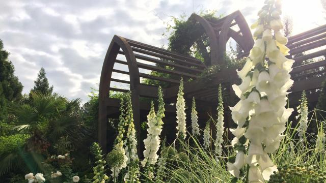 This weekend will be the peak for these white foxgloves.  Credit: Lindsey Fleetwood Courtesy: Duke Gardens