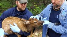 A baby elk is examined at the N.C. Zoo