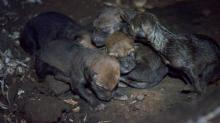 Red wolf pups born at Museum of Life and Science, April 28, 2017