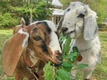 Baby goats at Historic Oak View County Park