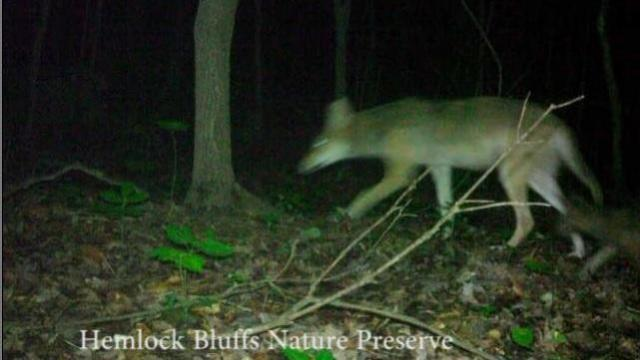 Coyote with pups at Hemlock Bluffs Nature Preserve