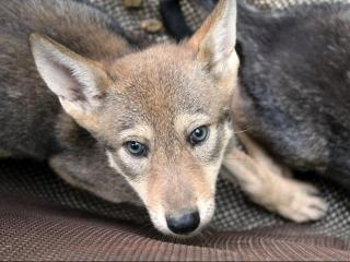 Red wolf pup at Museum of Life and Science in Durham