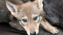 IMAGES: Red wolf pups born at the Museum of Life and Science