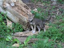 Red wolf pup at the Museum of Life and Science in Durham