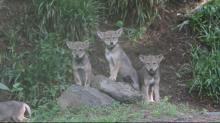Red wolf pups at the Museum of Life and Science in Durham