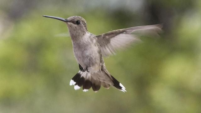 Hummingbird hovers in the air