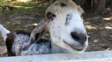 IMAGES: Goats at Historic Oak View County Park
