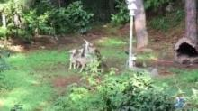 Red wolves yipping