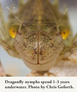 Dragonfly nymphs spend 1 to three years underwater