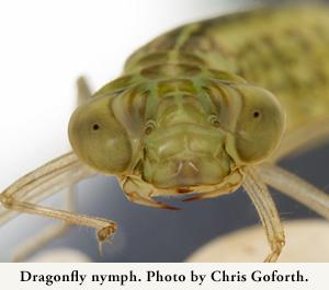 Dragonfly nympho