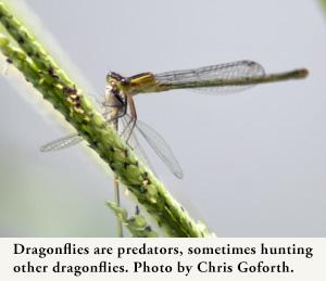 Dragonflies are predators, sometimes hunting other dragonflies