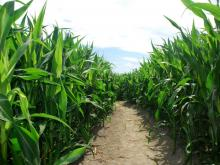 Hipp Farms Corn Maze opens in Fuquay-Varina