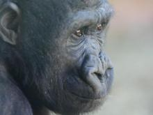 Dembe to move to N.C. Zoo