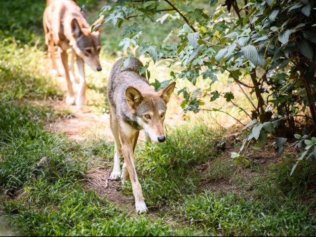 Museum of Life and Science prepares to say goodbye to its red wolf family, preps for transfer to New York