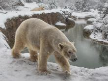 N.C. Zoo's polar bears enjoy the snowy weather