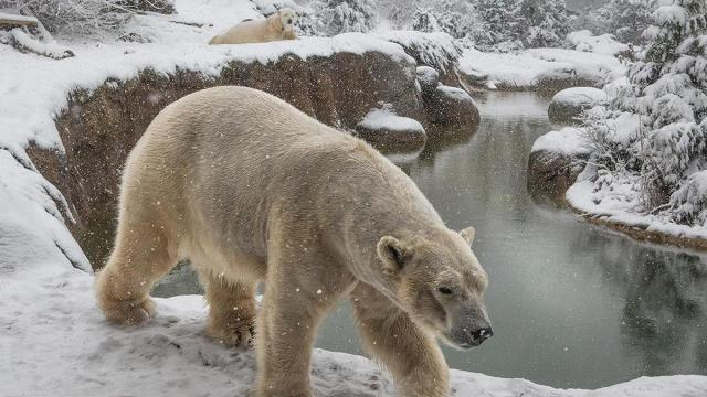 N.C. Zoo's polar bears enjoy the snowy weather