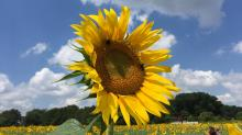 IMAGE: Don't delay: Raleigh's popular sunflowers won't last much longer