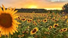 IMAGES: Sunflower field at Dix Park in downtown Raleigh