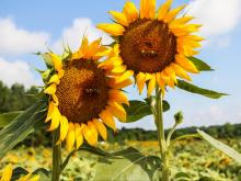 Dorthea Dix Park's Sunflowers are ready to be harvested soon! Get out to the fields while you still can.