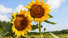 IMAGES: Take a look at the last standing sunflowers at Dorothea Dix park