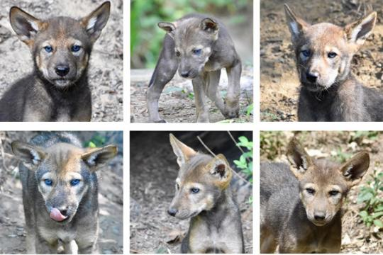 The Drug Talk 7 New Tips For Todays Parents Live Science >> Museum Of Life And Science Seeks Public S Help As It Names Red Wolf